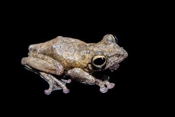 Annam flying frog, Rhacophorus annamensis, on black