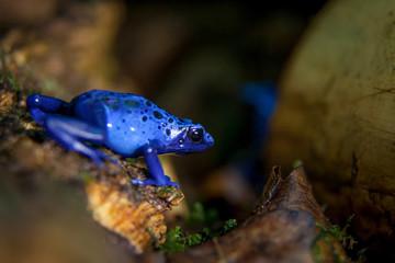 Blue Poison dart frog, Dendrobates tinctorius Azureus