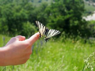 Kinderhand mit großem Schmetterling, Segelfalter