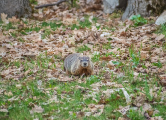Isolated Groundhog Looking At Camera