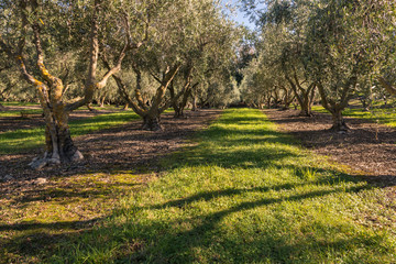 olive grove with mature olive trees in autumn