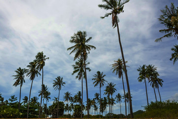 Sky with coconut tree