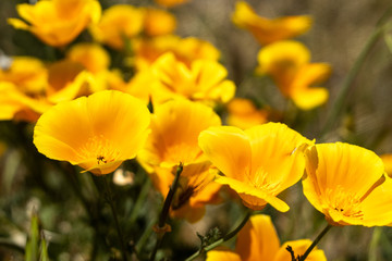Spring Flowers, Floral, Poppy, Poppies, California Poppies, California Poppy