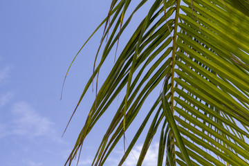 Green palm leaf over blue sky. Coco palm leaf banner template with text space.
