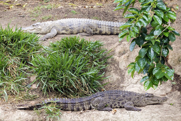 Two crocodiles on coast of river for mating.