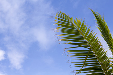 Green palm leaf over blue sky. Tropical nature minimal photo for background.