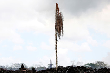 A dead palm tree stands in a lava flow in the Leilani Estates subdivision during ongoing eruptions of the Kilauea Volcano