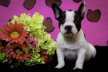 Black and White French Bulldog Puppy Sitting in front of a Pink Leopard Print Background next to a Spring Bouquet of Flowers