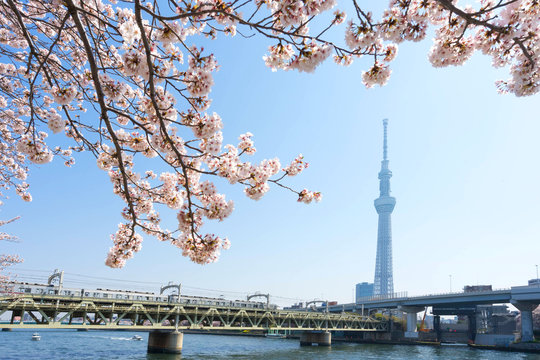 Tokyo Skytree with cherry blossoms at Sumida River.