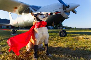 Funny photo of the Akita inu dog