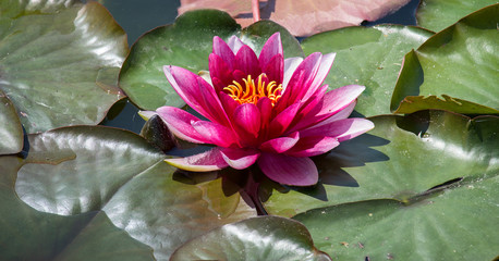 Red water lily on leaf in small pond
