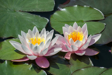Two pink blossom of water lily on leaf in small pond