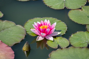 Red blossom of water lily on leaf in small pond