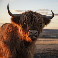 Wall Murals Cow Highland cow on the farm during the day