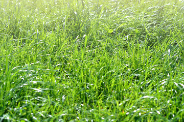 Fresh green grass with dew drops in the early morning in the park