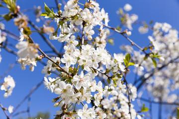 Spring cherry blossom in full bloom, blue sky background