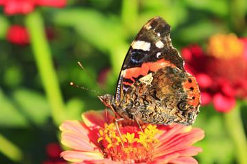 Macro of butterfly Vanessa atalanta collecting nectar on the zinnia