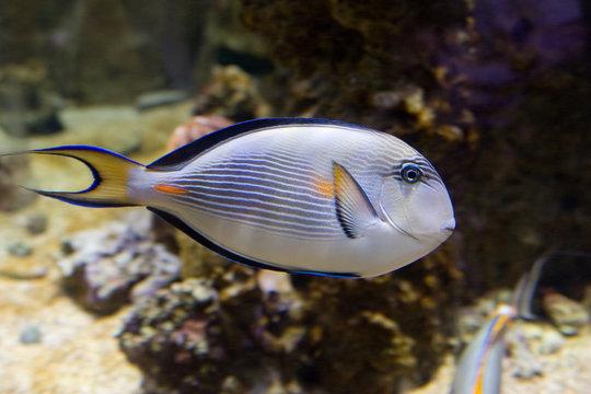 Acanthurus sohal - Pesce chirurgo sohal
