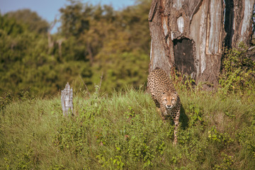African cheetah, Masai Mara National Park, Kenya, Africa. Cat in nature habitat. Greeting of cats (Acinonyx jubatus)