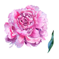 Wildflower peony pink flower in a watercolor style isolated. Aquarelle wildflower for background, texture, wrapper pattern, frame or border.