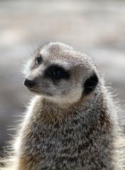 Meerkat posing for portrait
