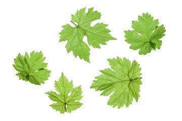 Grape leaf isolated on the white background