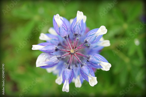Fleur De Lupin En Islande Stock Photo And Royalty Free Images On