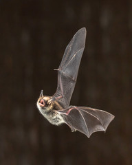 Rare Natterers bat in flight