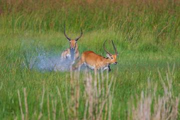 running antelope Waterbuck (Kobus ellipsiprymnus) in the african savannah namibia kruger park botswana masai mara