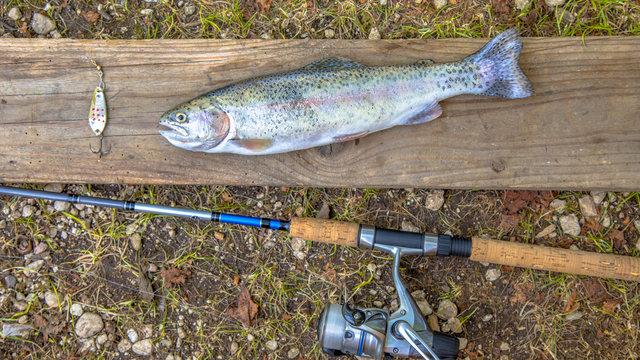 Fresh caught Rainbow Trout