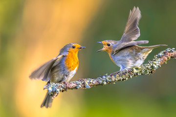 Zelfklevend Fotobehang Vogel Parent Robin bird feeding young