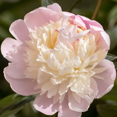 Stuffy white peony blossom