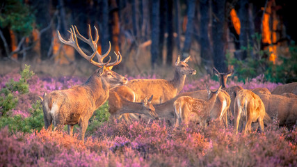 Poster Hert Group of red deer in heathland