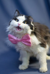 A fluffy black and white cat in a pink butterfly sings songs. One of his ear is torn off.