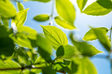Branch of young solar green leaves on a background of foliage and blue sky.