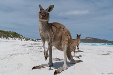 Kangaroos on the white beach of Lucky Bay, Cape Le Grand National Park, Western Australia