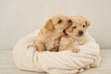 zaczepny piesek ,pies , psinka, młody piesek, przyjaźń, milusiński, milutki, miły ,słodki, sweet, little dogs, pieski w koszu, kundelki, kundel, szczeniaczki, szczeniaczek, kompozycja, domowe, przyjac