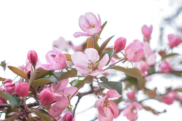 Blooming apple tree on spring, soft focus. Closeup of pink blossoming branches. Background with flowers in bloom