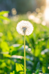 dandelion against a bokeh background