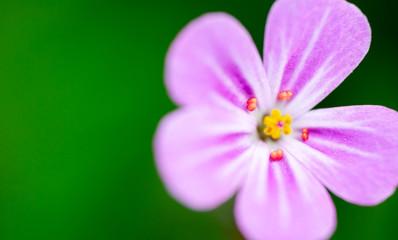 Herb-Robert, Geranium Robertianum, extreme macro on ultra violet flower head