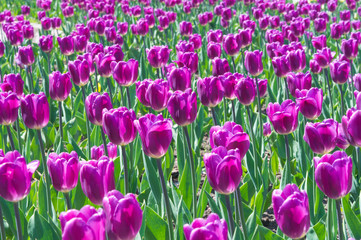 Picture of beautiful tulips on shallow deep of field. Purple field of blooming spring tulips