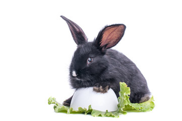 close-up of cute black rabbit eating green salad
