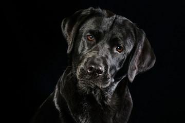Portrait eines schwarzen Labrador Retrievers mit wunderschönen braunen Augen vor schwarzen Hintergrund