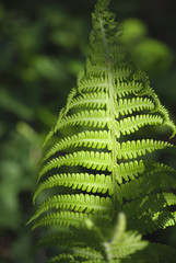 A bush of a young beautiful green fern in the gentle rays of spring sunlight close-up