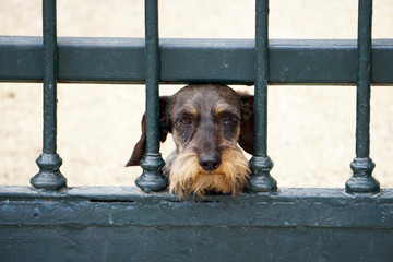 hairy dachshund hunting dog similar to the griffon