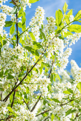 Spring blossoming plum tree in the blue sky