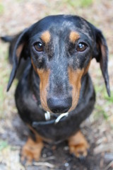 dog, pet, animal, puppy, black, dachshund, cute, doberman, canine, brown, portrait, dobermann, breed, mammal, pets, rottweiler, animals, dogs, grass, nature, purebred, head, isolated, domestic, small
