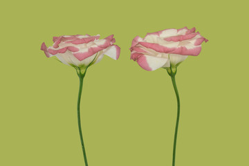Lisianthus, two flowers against plain background