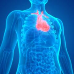 Human Body Organs Heart Anatomy