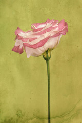 Lisianthus flower, pink and white whith textured background